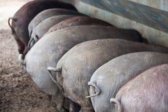 Black Iberian pigs Stock Photography