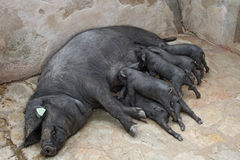 Black Iberian Sow With Suckling  Piglets Royalty Free Stock Photo