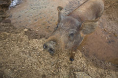 Black Iberian young pig 2 Stock Photos