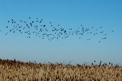 Black Ibis Flock. Birds of the marshes at the River Tagus Estuary, Portugal,E.U Stock Image