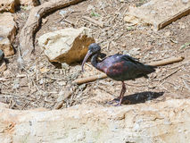 Black ibis walks the earth and search of food stock photo