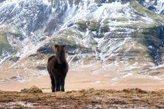 Black Icelandic horse Royalty Free Stock Images