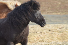 Black Icelandic Horse in a Field. Beautiful black Icelandic horse standing at an Iceland farm Stock Images