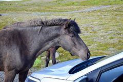 A black Icelandic horse on a gravel road in Iceland is curiously examining a car stock photography