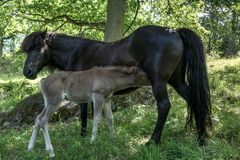 Black Icelandic horse mare with her palomino colored foal Stock Images