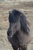 Black Icelandic Horse. Standing in a field in Iceland Stock Photo
