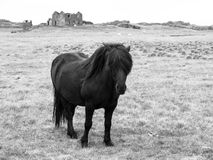 Black icelandic horse Royalty Free Stock Photography
