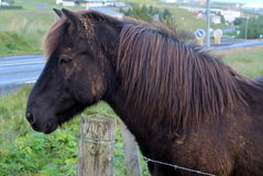 Black Icelandic Horse. This black Icelandic horse is typical of the small breed of horses bred in Iceland Stock Images
