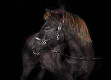 Black Icelandic Pony Studio Royalty Free Stock Photo