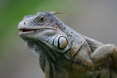 Black Iguana Stock Photo