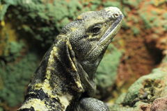 Black iguana Royalty Free Stock Image