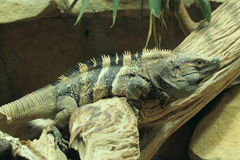 Black iguana Royalty Free Stock Photography