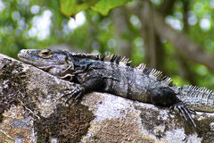 Black Iguana on camouflage, close-up Stock Image