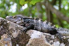 Black Iguana on camouflage, close-up. Black Iguana sunning on lichened rock Stock Image