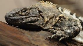 Black Iguana (Ctenosaura similis) Stock Image