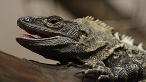 Black Iguana (Ctenosaura similis) Stock Photos