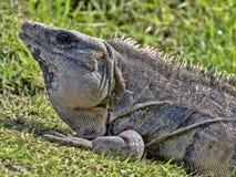 Black iguana, Ctenosaura similis, is a massive lizard, residing mostly on the ground, Belize. One Black iguana, Ctenosaura similis, is a massive lizard, residing stock photography