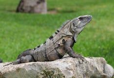 Black iguana Royalty Free Stock Photography