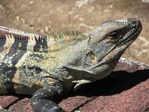 Black Iguana Stock Photography