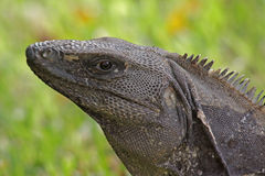 Black Iguana Portrait Royalty Free Stock Photos