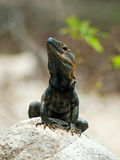 Black Iguana Portrait Stock Photos