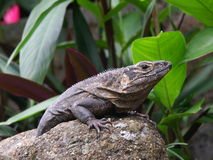 Black Iguana Resting. Black Iguana (Spiny tail, Ctenosaur, Ctenosaura similis, Iguana Negra) resting on a rock in southern Costa Rica, Central America Royalty Free Stock Photography