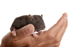 Black infant rat Stock Image