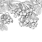 Black ink graphic drawing autumn bunches of Rowan on white Royalty Free Stock Image