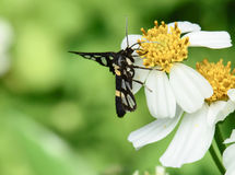 Black insect on chamomile flower Royalty Free Stock Photography