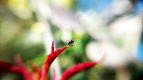 Black Insect on Red Plant Royalty Free Stock Images