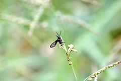 Black insect. Is swarming , grass flower , suck pollen Stock Images