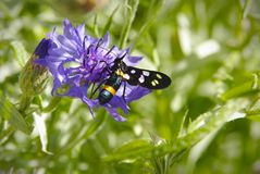 Black butterfly on a blue flower royalty free stock image