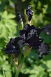 Black Iris Stock Images