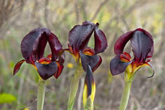 Black Irises Royalty Free Stock Photography