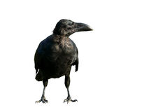 Black isolated crow Stock Photo