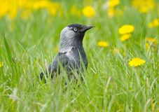 Black jack daw on the grass Royalty Free Stock Images