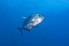 Black jack fish Royalty Free Stock Images