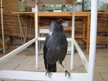 Black jackdaw Stock Images