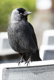 Black jackdaw on a chair Stock Photography