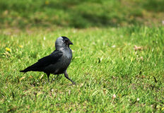 Black jackdaw on grass Royalty Free Stock Photos