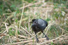 Black jackdaw on the grass royalty free stock image