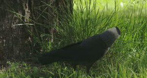 A black jackdaw hopping 4K FS700 Odyssey 7Q Stock Photos