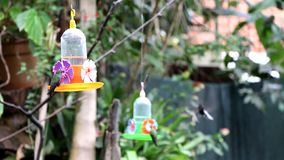 Black Jacobin Hummingbird and other. Feeding in a drinking trough stock video