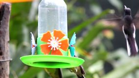 Black Jacobin Hummingbird and other. Feeding in a drinking trough stock video footage
