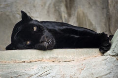 Black jaguar stock photos