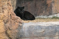 Black jaguar Stock Photo