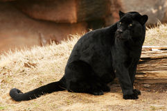 Black Jaguar. Sitting and looking over his shoulder Royalty Free Stock Image