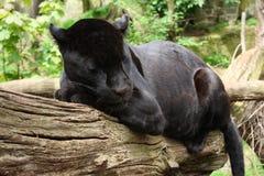 Black Jaguar Stock Photography