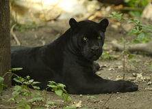 Black Jaguar. Black coloured version of Jaguar laying in shadow place Royalty Free Stock Image