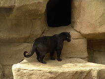 Black Jaguar. On cage Royalty Free Stock Photos